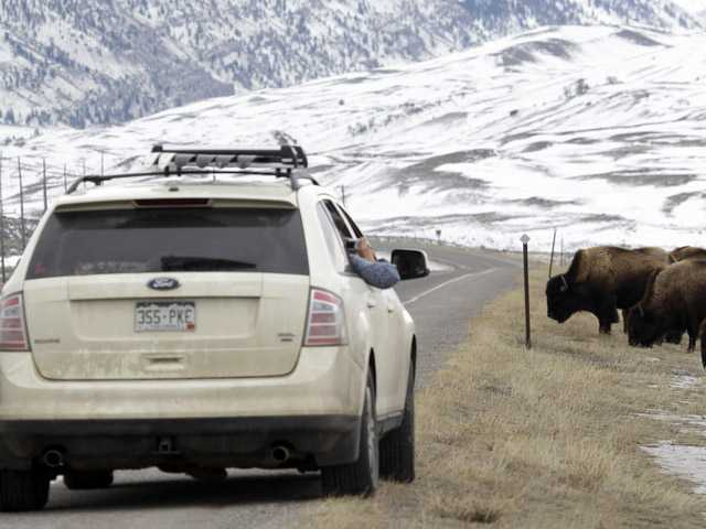 This file photo shows bison grazing near the U.S. Route 89 highway just outside of Gardiner, Mont. Hundreds of bison have left the boundaries of Yellowstone National Park this winter in search of food. The annual hunt for wild bison migrating from Yellowstone National Park has hit its highest level in decades. Driven by strong participation from American Indian tribes, roughly 250 of the animals have been killed this season after leaving Yellowstone for winter range at lower elevations in Montana.