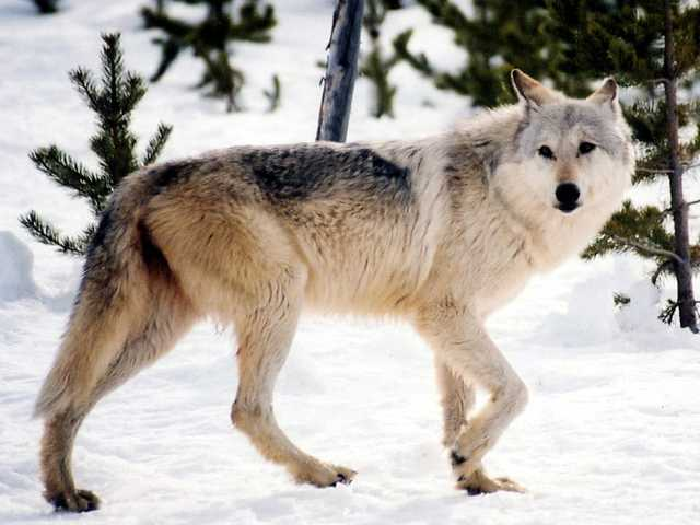 Western environmental groups say they're alarmed that the U.S. Fish and Wildlife Service is considering a plan to end federal protections for gray wolves.