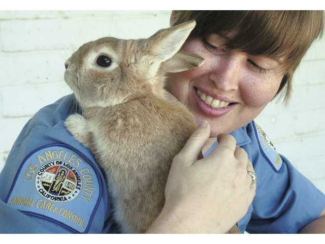 Animal care attendant Amy Johnson plays with Buffy, a short-haired rabbit who is one of the owner-surrendered bunnies housed at the Castaic Animal Shelter.