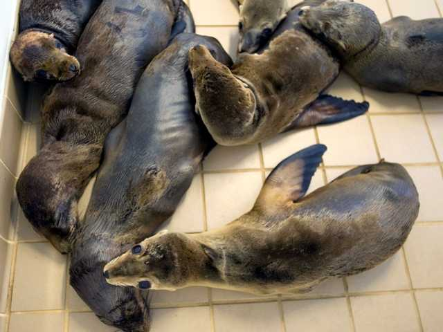 Malnourished sea lions pups line the floors of the Pacific Marine Mammal Center in Laguna Beach, Calif., Monday, March 11, 2013, after 18 rescues in the past two days.