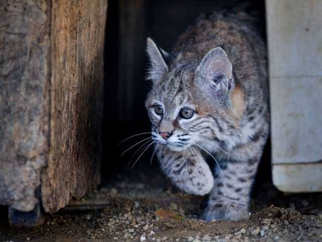 "The orphaned Northern California bobcat, ""Chips,"" that was initially deemed too friendly is back in the wild. AP Photo/The Sacramento Bee, Randall Benton"