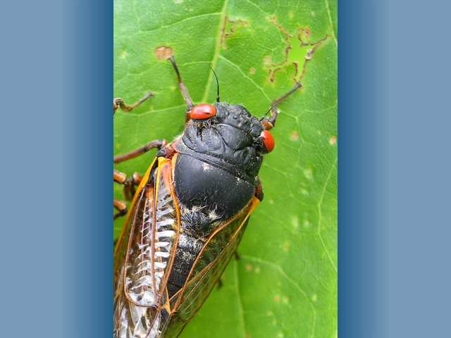 This photo provided by the University of Connecticut, shows a cicada in Pipestem State Park in West Virginia. Any day now, cicadas with bulging red eyes will creep out of the ground after 17 years and overrun the East Coast with the awesome power of numbers. Big numbers. Billions. Maybe even a trillion.