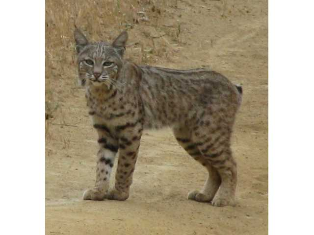 This bobcat was captured on camera in Newhall Pass last weekend by Signal subscriber Mike Gaston.