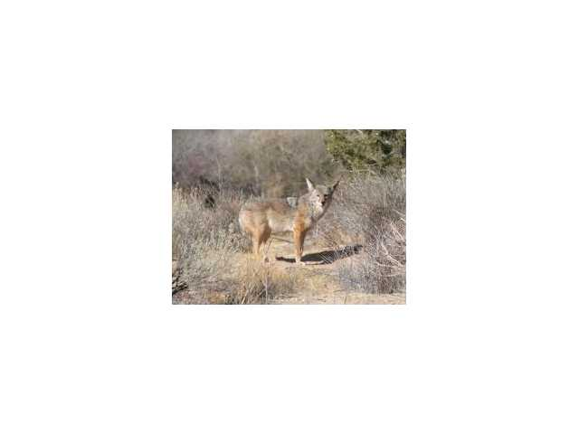 A common Southern California coyote.