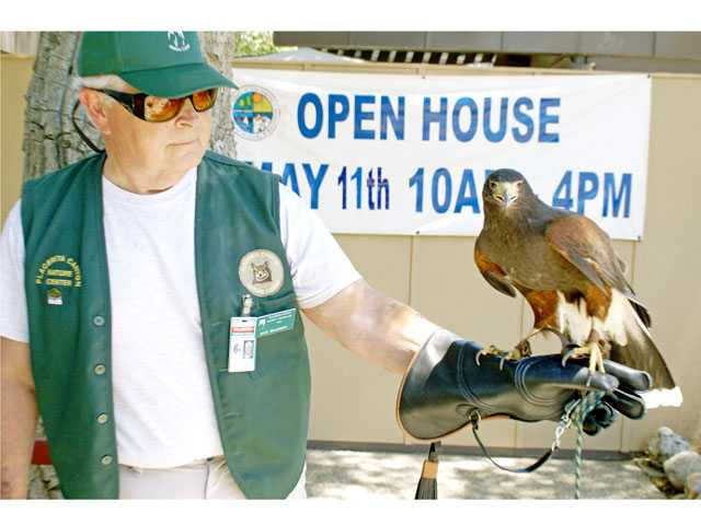 Animal Handler Rick Brammer holds rescued Harris's Hawk, Wheely, on his arm at the Placerita Canyon Nature Center's Open House Saturday.