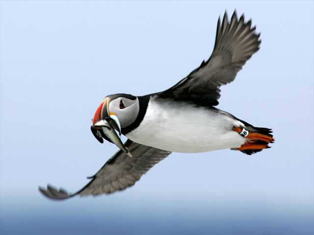 In this file photo from July 2007, an Atlantic puffin flies with a mouthful of hake on its way to feed its chick on Eastern Egg Rock, Maine. Scientists say the comical-looking seabirds have been dying of starvation and losing body weight, possibly because of shifting fish populations due to warming ocean temperatures.