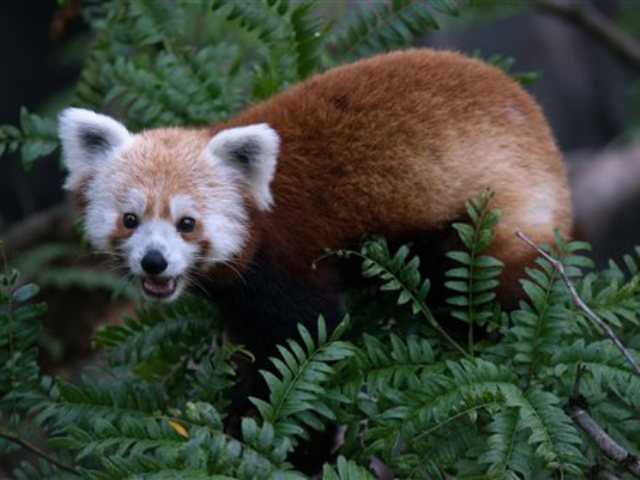 This undated handout photo provided by the National Zoo shows a red panda that has gone missing from its enclosure at the zoo in Washington. National Zoo spokeswoman Pamela Baker-Masson says animal keepers discovered the male red panda named Rusty was missing on Monday morning.