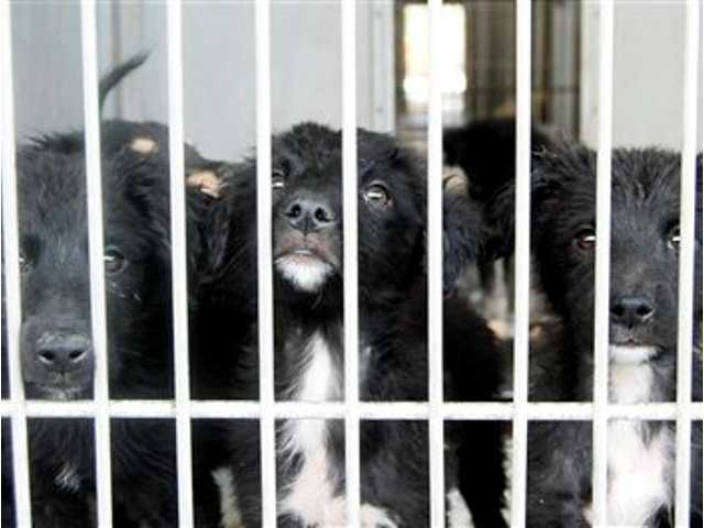 This image provided by the San Bernardino County Animal Shelter shows several of the more than 130 dogs saved from a hoarder two weeks ago Friday July 5, 2013 in San Bernardino, Calif.