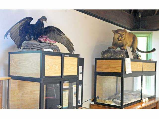 New exhibits will be among the improvements funded by Los Angeles County Supervisors' approval of $1.4 million for Placerita Canyon Nature Center. Above are current displays showing a turkey vulture, left, and a mountain lion. Signal photo by Jonathan Pobre