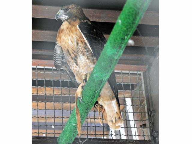 A red-tailed hawk in a cage at the Placerita Canyon Nature Center on Tuesday. Signal photo by Jonathan Pobre