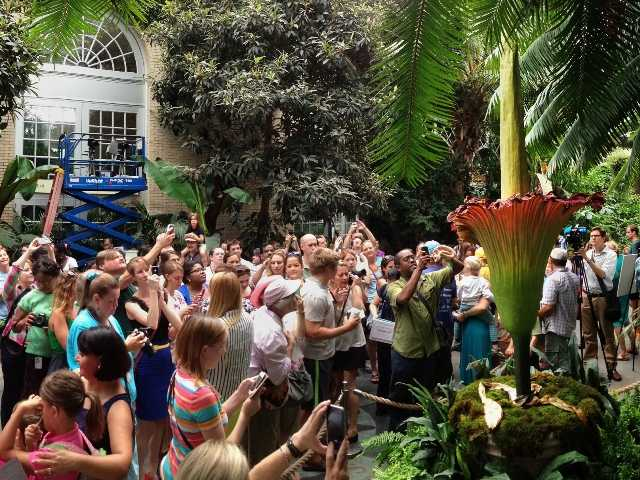 "Visitors crowd around a ""corpse flower"" in expectation of getting a whiff of it's characteristic blooming smell of rotting flesh at the U.S. Botanic Garden in Washington."