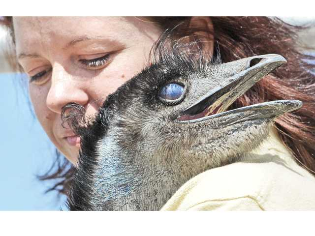 Emu goes up for adoption at shelter on Monday