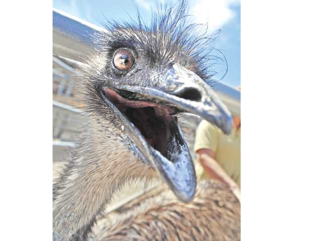 An emu found wandering loose in Acton last month will be available for adoption at Castaic Animal Shelter on Monday unless its rightful owner claims it. Signal photo by Dan Watson