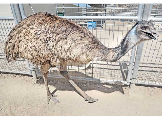 An emu found loose in Acton last month paces its corral at the Castaic Animal Shelter. Shelter employee Tammy Somers says the big bird is affectionate with specific people. Signal photo by Dan Watson