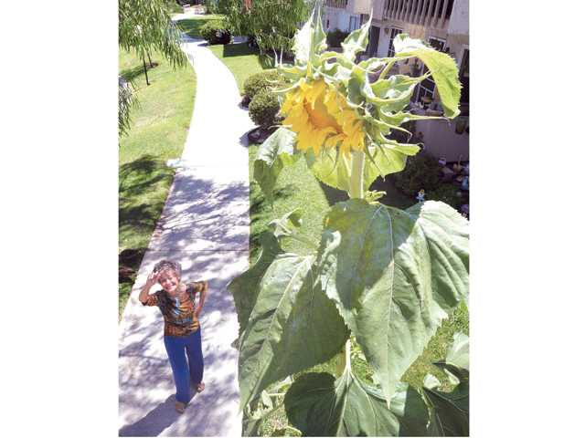 Valencia Lakeshore Condominiums resident Sandi Cates walks under the 11-foot-tall sunflower Thusday growing in her yard. Signal photo by Dan Watson
