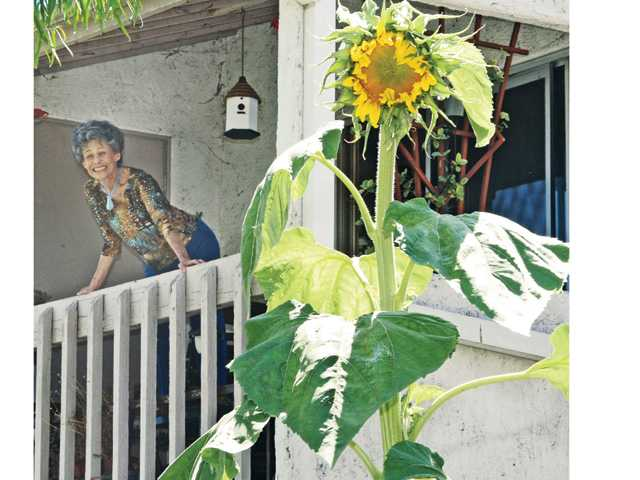 Valencia Lakeshore Condominiums resident Sandi Cates views her giant sunflower from her second-story balcony. Signal photo by Dan Watson