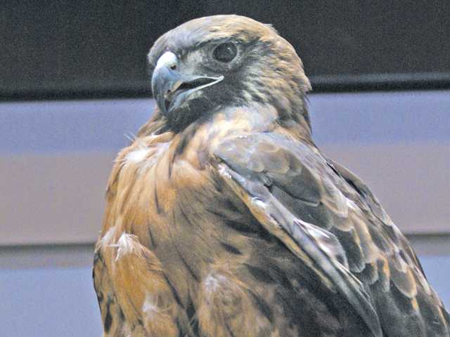 Red-tailed hawk Looks Twice was featured at Placerita Canyon Nature Center's Sunday talk about raptors in the Santa Clarita Valley. Signal photo by Jim Holt