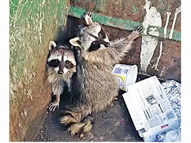Raccoons trapped in Dumster just before firefighters extended a ladder and the creatures scampered up and were gone. Photo courtesy of Los Angeles County Fire Station 149 in Castaic