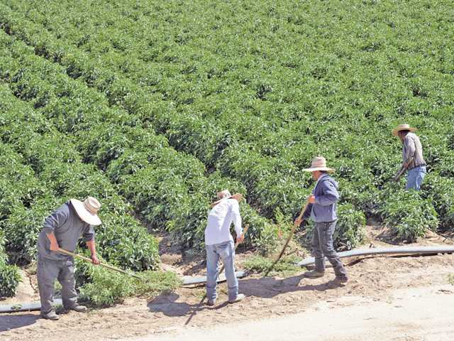 Farm workers cultivate a field of crops in the Santa Clara River Valley. Farmers contend that high levels of chloride from the river damage their crops. Photo by Dan Watson.