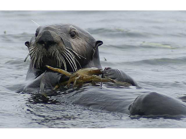 In this July 12, 2012 photo provided by Ron Eby, a sea otter eats a crab in Elkhorn Slough National Estuarine Research Reserve near Monterey, Calif.