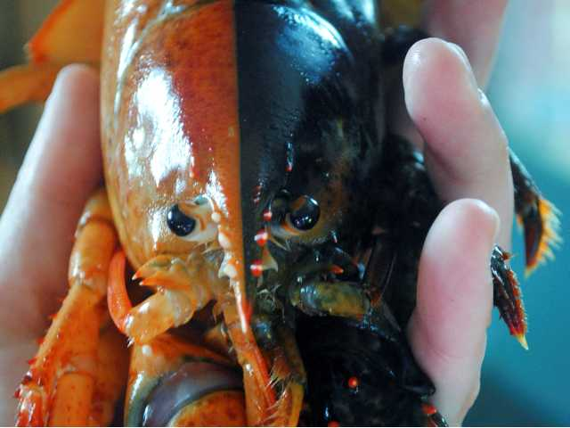 A two-toned lobster caught by lobsterman Jeff Edwards in Owl's Head, Maine. The lobster company donated the crustacean to the Gulf of Maine Research Institute.