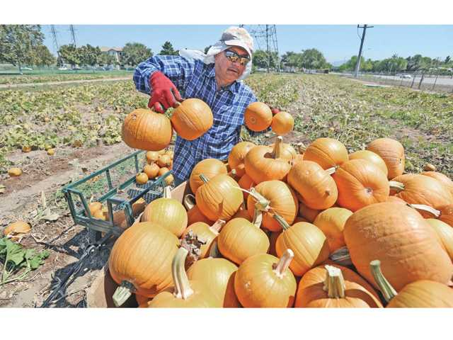 Herminio Bastian of Nancy's Ranch in Valencia loads hundreds of pumpkins onto a pallet after harvesting them at Nancy's Ranch on Friday. Signal photo by Dan Watson