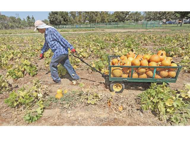 Herminio Bastian pulls a wagon full of harvested pumpkins as the gourds were gathered at Nancy's Ranch in Valencia Friday.