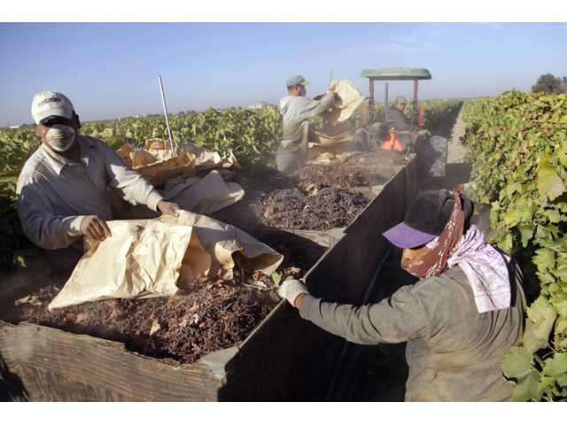 In this photo taken Tuesday near Fresno, farmworkers pick paper trays of dried raisins off the ground and heap them onto a trailer in the final step of raisin harvest.