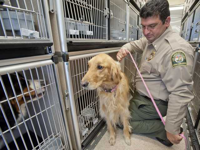 Fred Agoopi, lieutenant of emergency operations, puts a leash on Rebecca, a golden retriever, inside one of the new animal transportation trailers at the Castaic Animal Shelter. Photo by Charlie Kaijo.