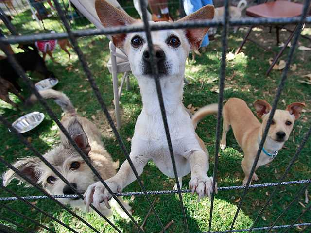 Some of the puppies available for adoption from the Downy Animal shelter showcase themselves to passers-by. Photo by John Lazar.