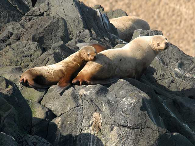 This March 2012 photo released by National Oceanic and Atmospheric Administration Fisheries shows a Steller sea lion female and juvenile on Seguam Island, Alaska. The eastern population of the Steller sea lion will be taken off the threatened species list, the NOAA announced Wednesday.