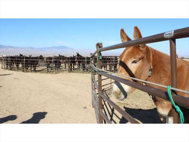 The 100 mules get some rest — split up into several dozen a pen — at a ranch in Neenach on Sunday, ahead of their truck trip to Whitney Canyon Park. Photo by Ryan Fonseca.