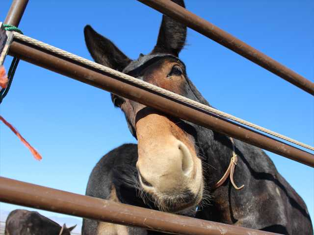 One of the 100 mules resting in Neenach gets a little curious on Sunday. Photo by Ryan Fonseca.