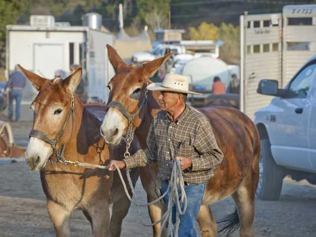 Lee Roeser, mule boss from the McGee Creek Ranch, walks two mules to a free range pen at Whitney Canyon Park, where they will rest until Tuesday morning before their trek to the aqueduct cascades in Sylmar. Photo by Charlie Kaijo.