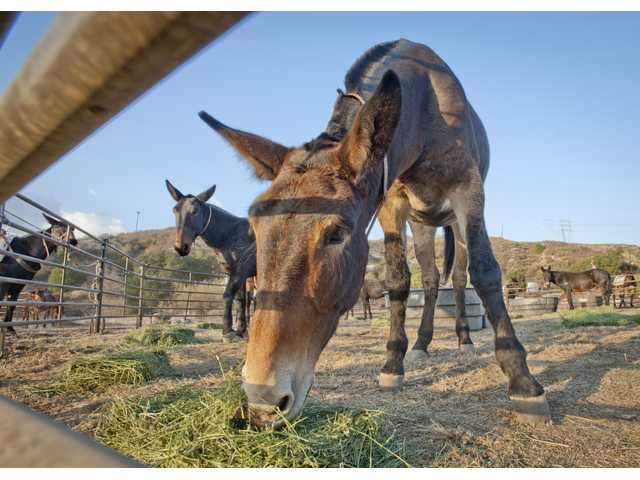 Mules from the McGee Creek Ranch feed from bales of hay on Monday at the Whitney Canyon Park where they will rest until Tuesday's final trek to the aqueduct cascades in Sylmar. Photo by Charlie Kaijo.