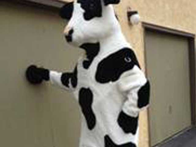 An unknown person posing in a stolen cow costume in San Bernardino. Redlands Police Department said two 7-foot cow costumes created for the Chick-fil-A chain were nabbed.