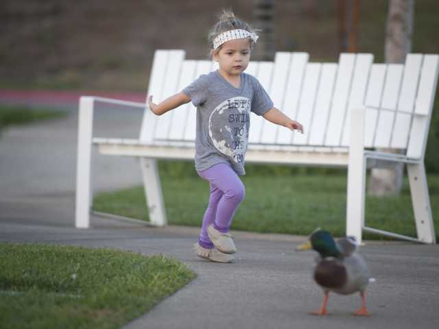 Two-year-old Stella Seston chases a duck near the man-made pond at the Bridgeport Marketplace shopping center Tuesday in Valencia. Signal photo by Charlie Kaijo