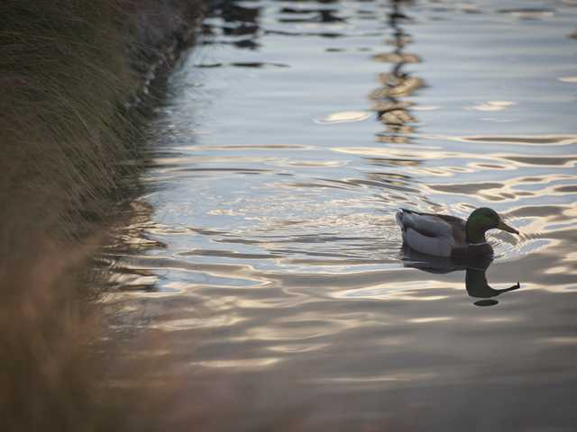 A duck floats on the pond at Bridgeport Marketplace on Tuesday. Signal photo by Charlie Kaijo
