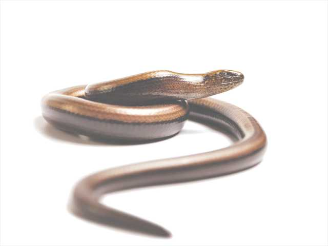 This photo shows a legless lizard — much like the ones found in the work area of the Highway 126 bridge project.
