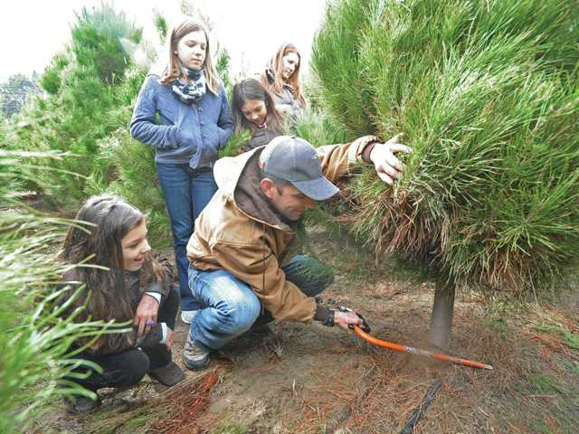 The Herrera family of Valencia cuts a Christmas tree Friday at Nancy's Christmas Tree Lot on Magic Mountain Parkway as a light drizzle falls. Dad Jeff wields the saw as daughters, from left, Julia, 9, Audrey, 11, and Laurel, 7, look on with  Mom Jamie. Signal photo by Dan Watson