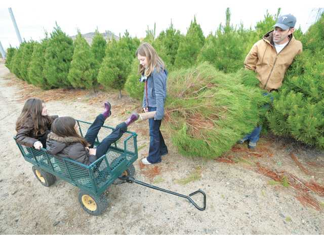 Audrey Herrera, 11, and her dad, Jeff, haul the family Christmas tree to their cart Friday at Nancy's Christmas Tree Lot in Valencia. Daughters Julia, 9, left, and Laurel, 7, wait in the cart under a light drizzle. Signal photo by Dan Watson