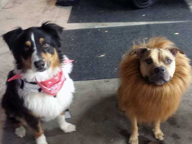 Bentley, left, and Mickey dressed for Halloween as a cowboy and lion.   Courtesy photo
