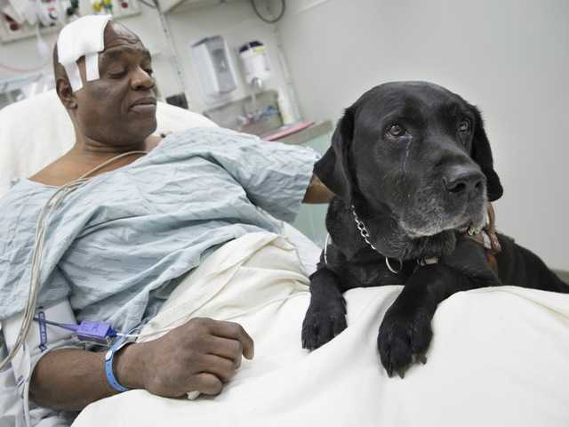 Cecil Williams pets his guide dog Orlando in his hospital bed following a fall onto subway tracks. Williams, 61 and blind, says his black labrador tried to save him from falling.