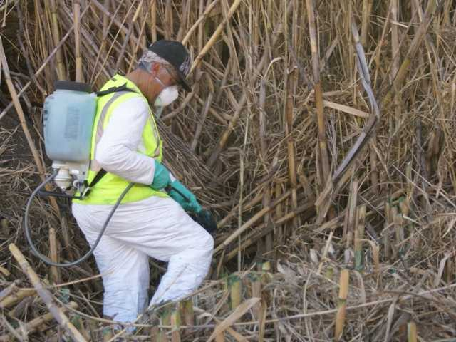 An arundo-removal worker with R.A. Atmore & Sons Inc. daubs the severed stalks of arundo with a potent herbicide. Mature arundo is behind him. Signal photo by Jim Holt