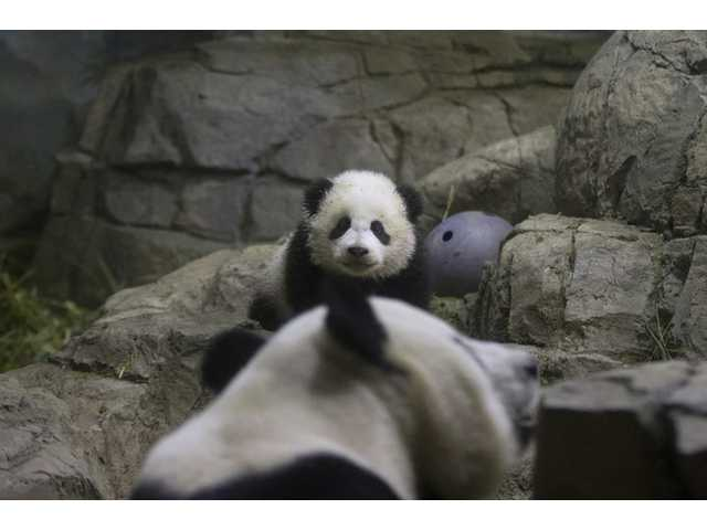 Bao Bao, the 18-week-old giant panda cub, looks towards her mother Mei Xiang as she makes her public debut at an indoor habitat at the National Zoo in Washington on Monday.