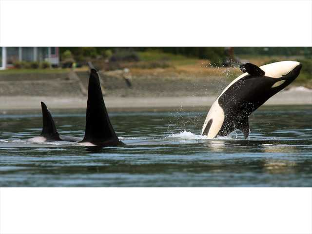 Satellite tagging reveals info on endangered orcas