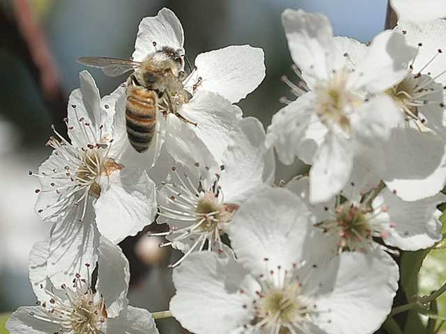 A bee lands on a flowering evergreen pear tree blossom Wednesday at Green Landscape Nursery in Valencia. Signal photo by Dan Watson