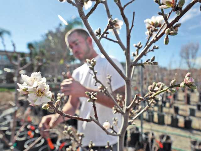 Brent Green examines the early buds and flowers on the almond trees at Green Landscape Nursery in Valencia on Wednesday. Signal photo by Dan Watson