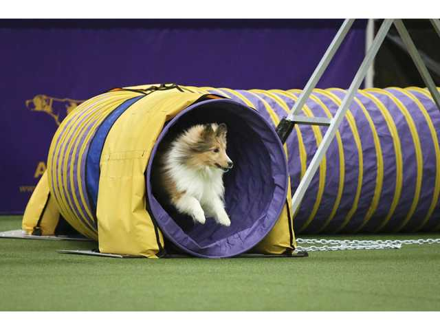 Spring, a Shetland Sheepdog, exits the tunnel obstacle during the Masters Agility Championship the Westminster Kennel Club on Saturday in New York.