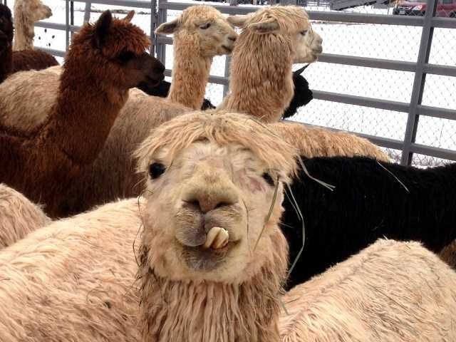 The Oregon State Unversity College of Vetgerinary Medicine in Corvallis is caring for 175 starving alpacas seized from a breeding ranch.